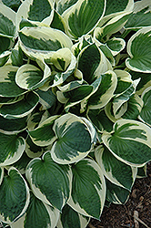 Patriot Hosta (Hosta 'Patriot') at The Mustard Seed