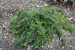 Little Gem Cotoneaster (Cotoneaster adpressus 'Little Gem') at Bartlett's Farm