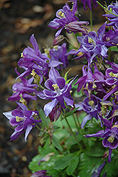 Biedermeier Blue Columbine (Aquilegia 'Biedermeier Blue') at Flagg's Garden Center