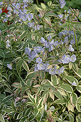Touch Of Class Jacob's Ladder (Polemonium reptans 'Touch Of Class') at Bartlett's Farm