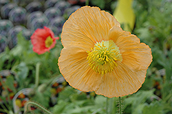 Champagne Bubbles Poppy (Papaver nudicaule 'Champagne Bubbles') at Bartlett's Farm