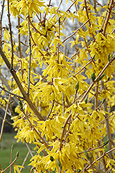 Northern Gold Forsythia (Forsythia 'Northern Gold') at The Mustard Seed