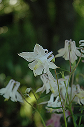 McKana White Columbine (Aquilegia 'McKana White') at Flagg's Garden Center