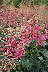 Rhythm And Beat Astilbe (Astilbe 'Rhythm And Beat') at The Mustard Seed