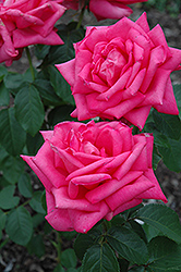 Miss All American Beauty Rose (Rosa 'Miss All American Beauty') at Flagg's Garden Center