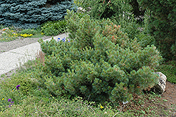 Macopin Eastern White Pine (Pinus strobus 'Macopin') at The Mustard Seed