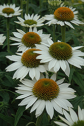 Purity Coneflower (Echinacea 'Purity') at Bartlett's Farm