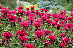 Raspberry Wine Beebalm (Monarda 'Raspberry Wine') at Flagg's Garden Center