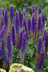 Royal Candles Speedwell (Veronica spicata 'Royal Candles') at Dundee Nursery