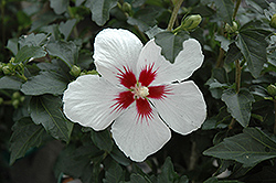 Lil' Kim® Rose of Sharon (Hibiscus syriacus 'Antong Two') at Flagg's Garden Center
