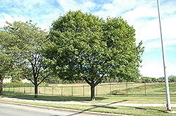 Norway Maple (Acer platanoides) at The Mustard Seed