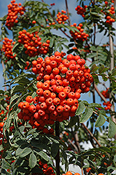 Russian Mountain Ash (Sorbus aucuparia 'Rossica') at The Mustard Seed