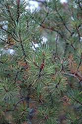 Jack Pine (Pinus banksiana) at The Mustard Seed