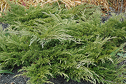 Calgary Carpet Juniper (Juniperus sabina 'Calgary Carpet') at Bachman's Landscaping