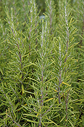 Upright Rosemary (Rosmarinus officinalis 'Upright') at The Mustard Seed