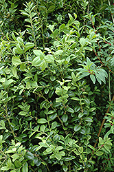 Graham Blandy Boxwood (Buxus sempervirens 'Graham Blandy') at Flagg's Garden Center