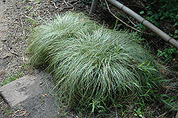 New Zealand Hair Sedge (Carex comans 'Frosted Curls') at Bartlett's Farm