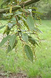 Snakebark Maple (Acer tegmentosum) at The Mustard Seed