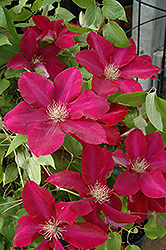 Rebecca Clematis (Clematis 'Rebecca') at Bartlett's Farm