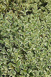 Variegated Boxwood (Buxus sempervirens 'Elegantissima') at A Very Successful Garden Center