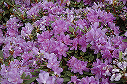 Purple Gem Rhododendron (Rhododendron 'Purple Gem') at The Mustard Seed