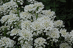 Purity Candytuft (Iberis sempervirens 'Purity') at Bartlett's Farm