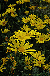 Green Leafed Euryops (Euryops pectinatus 'Viridis') at Flagg's Garden Center