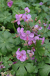Cambridge Cranesbill (Geranium x cantabrigiense 'Cambridge') at Bartlett's Farm