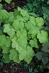 Pistache Coral Bells (Heuchera 'Pistache') at The Mustard Seed