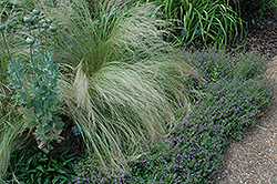 Mexican Feather Grass (Nassella tenuissima) at Flagg's Garden Center