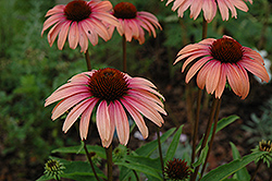 Big Sky Summer Sky Coneflower (Echinacea 'Big Sky Summer Sky') at Bartlett's Farm
