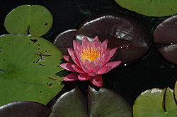 Pink Wonder Hardy Water Lily (Nymphaea 'Pink Wonder') at The Mustard Seed