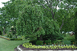 Weeping Mulberry (Morus alba 'Pendula') at Bachman's Landscaping