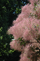 Grace Smokebush (Cotinus 'Grace') at The Mustard Seed