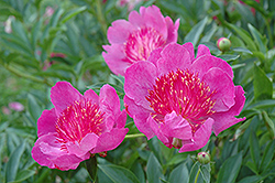 Madame Butterfly Peony (Paeonia 'Madame Butterfly') at Bartlett's Farm