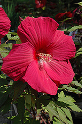 Sultry Kiss Hibiscus (Hibiscus 'Sultry Kiss') at Bartlett's Farm