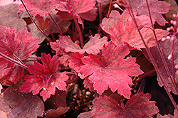 Sweet Tea Foamy Bells (Heucherella 'Sweet Tea') at Bartlett's Farm