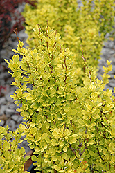 Sunjoy Gold Pillar® Japanese Barberry (Berberis thunbergii 'Maria') at Flagg's Garden Center