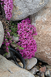 Pink Chintz Thyme (Thymus praecox 'Pink Chintz') at Bachman's Landscaping