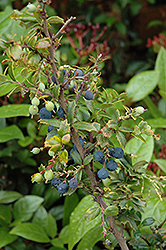 Darwin's Barberry (Berberis darwinii) at A Very Successful Garden Center