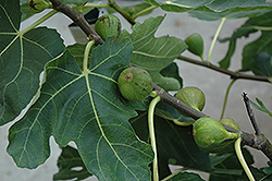 Mission Fig (Ficus carica 'Mission') at Flagg's Garden Center