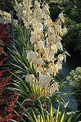 Color Guard Adam's Needle (Yucca filamentosa 'Color Guard') at Dundee Nursery