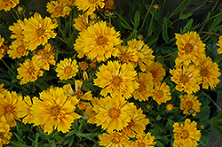 Jethro Tull Tickseed (Coreopsis 'Jethro Tull') at Flagg's Garden Center