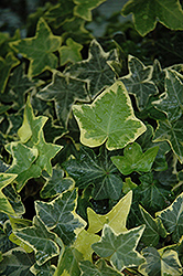 Gold Child Ivy (Hedera helix 'Gold Child') at Bartlett's Farm