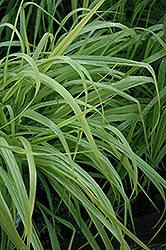 Dallas Blues Switch Grass (Panicum virgatum 'Dallas Blues') at Bartlett's Farm