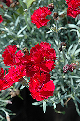 Fire Star Pinks (Dianthus 'Devon Xera') at The Mustard Seed