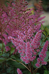 Maggie Daley Astilbe (Astilbe chinensis 'Maggie Daley') at The Mustard Seed