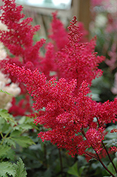 Montgomery Japanese Astilbe (Astilbe japonica 'Montgomery') at The Mustard Seed