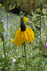Mexican Hat (Ratibida columnifera) at The Mustard Seed