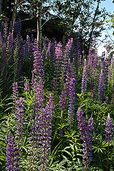 Wild Lupine (Lupinus perennis) at The Mustard Seed